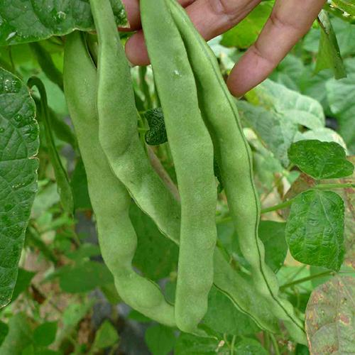 有机蔬菜 豆角 蛇豆 有机肥无农药500g