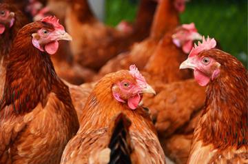 2016年鸡蛋价格走势分析预测
