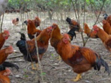 养鸡技术大全-果园养鸡的优势