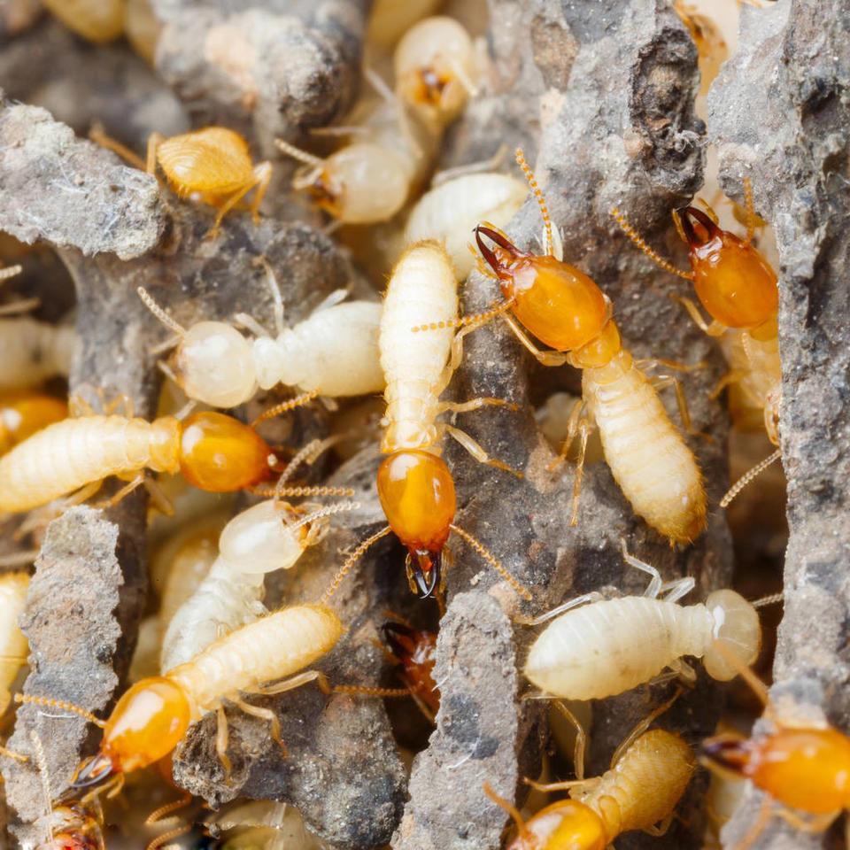 专业灭白蚁服务