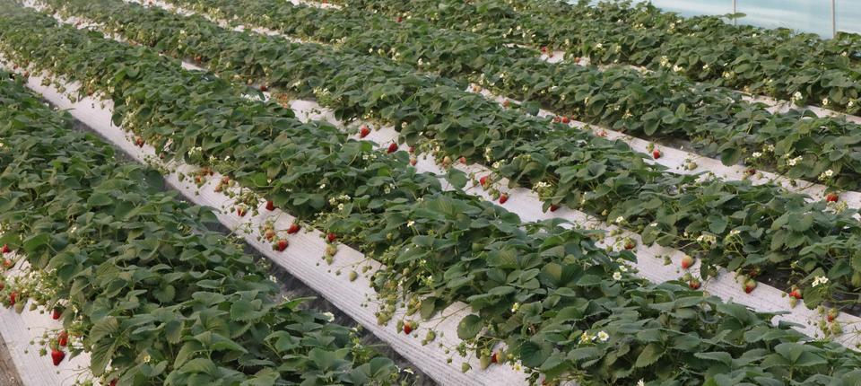 绪塘草莓采摘基地