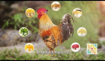 """广西大化七百弄鸡""""鸡界""""新宠 席上珍"""