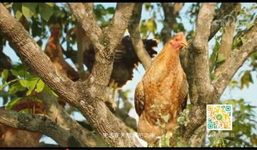 大化县:发展七百弄鸡养殖业,打造瑶乡健康食材品牌