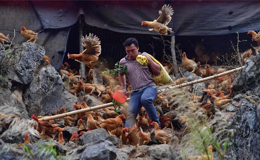 广西大化七百弄鸡饲养方式