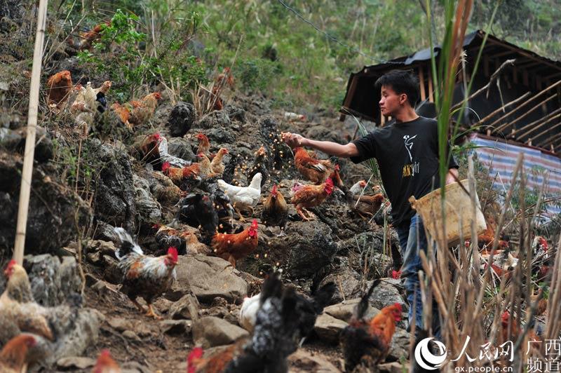 广西大化七百弄鸡山间散养
