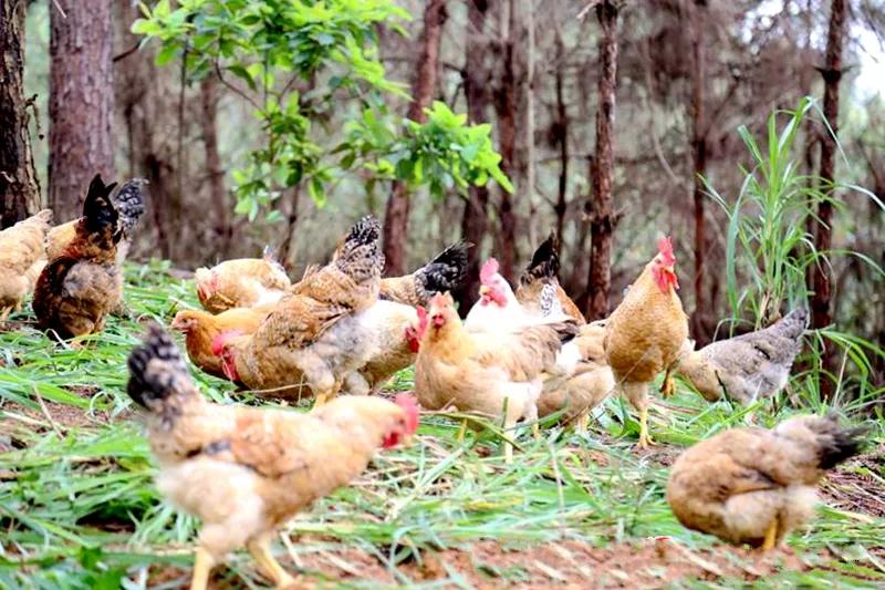 广西大化七百弄鸡林下养殖