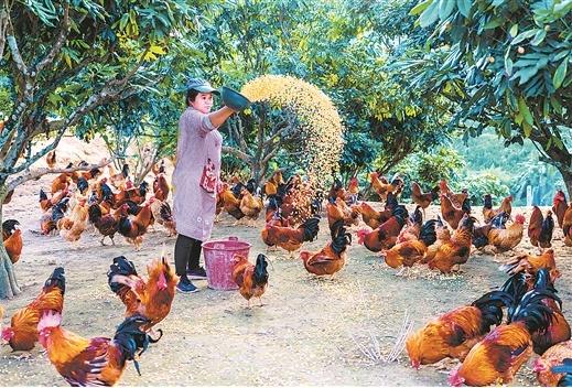大化七百弄土鸡