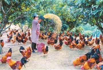 大化发展七百弄鸡扶贫产业成功经验