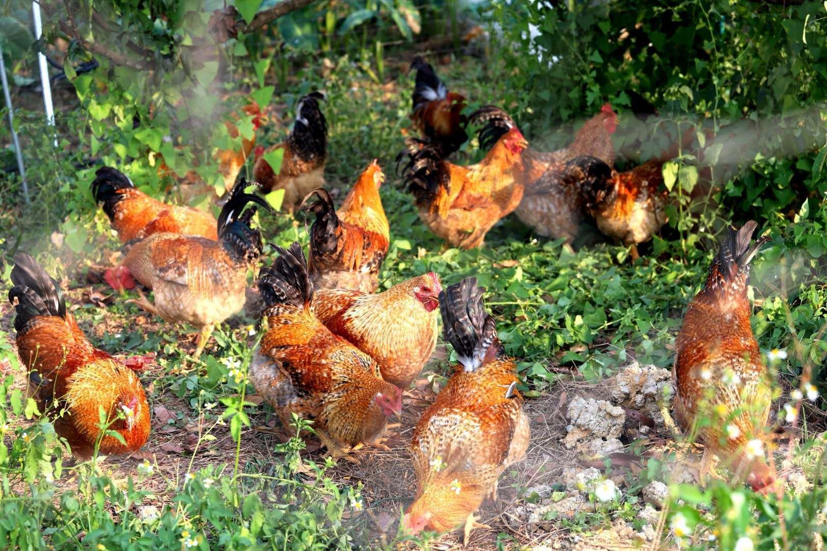林下养殖七百弄鸡