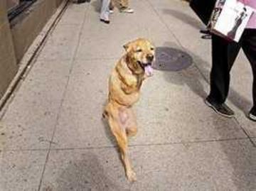 """仅有两后腿的""""直立行走狗""""被授予陆军荣誉中士军衔"""