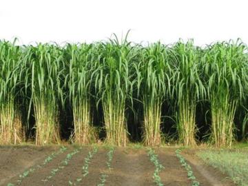 四季青种业:皇竹草种节怎么种最好?