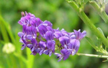 紫花苜蓿种子需要几天就能发芽?