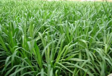 北方是否适合种植皇竹草?