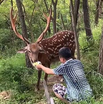 大连市内的野生梅花鹿,看这漂亮的大鹿角!