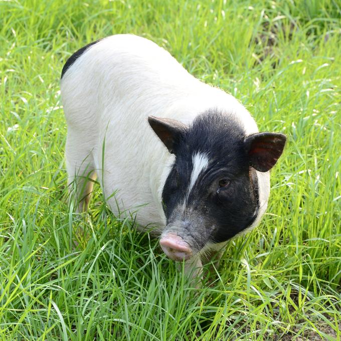 巴马香猪、巴马纯种香猪